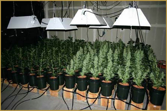 Experts Would Love To Grow Our Famous Auto Flower Seeds USA